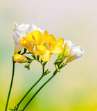Yellow and white freesias flowers, close up,  green to yellow gradient background Stock Images