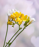 Yellow and white freesias flowers, close up, light hearts background Stock Image