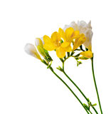 Yellow and white freesias flowers, close up,  white background Royalty Free Stock Images