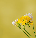 Yellow and white freesias flowers, close up, yellow gradient background Stock Photo