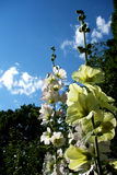 Yellow and White Hollyhock royalty free stock photos