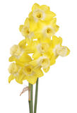 Yellow and white jonquils isolated on white Royalty Free Stock Photography