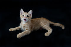 Yellow and White Kitten Laying on Black Backdrop. Stock Photo