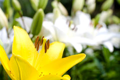 Yellow and white lily Royalty Free Stock Photo