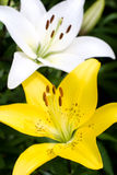 Yellow and white lily Royalty Free Stock Photos