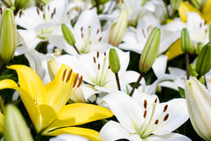 Yellow and white lily Stock Image