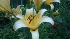 Yellow white lily Royalty Free Stock Images