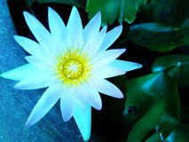 Yellow and White Lotus Flower Royalty Free Stock Images
