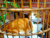 A yellow and white lovely cat in a cage. In the image, it is a yellow and white lovely cat in a cage stock photo