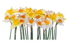 Yellow and white narcissus Royalty Free Stock Photography