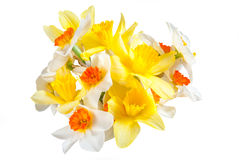 Yellow and white narcissus Royalty Free Stock Photo