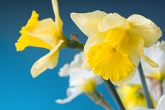Yellow and white narcissus on blue Royalty Free Stock Image