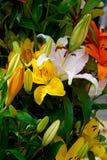 Yellow, white and orange lilies Stock Photo