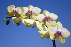 Yellow white orchid with reddish orange core Stock Image