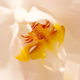 Yellow-white orchid. Unusual flower yellow-white orchid, macro Royalty Free Stock Photo