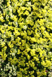 Yellow and white orchids Royalty Free Stock Photo