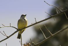 Yellow and and white park bird Stock Images
