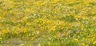 Yellow, white and pink indigenous flowers at Matjiesfontein farm Royalty Free Stock Images