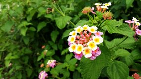 Yellow White and Pink Petaled Flower Stock Photo