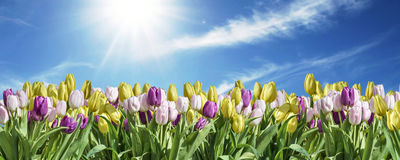 yellow, white and pink Tulip sky background space greeting textspace may flowers spring Happy Eastern Royalty Free Stock Photos