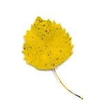 Yellow White Poplar Leaf Isolated on White Stock Photos
