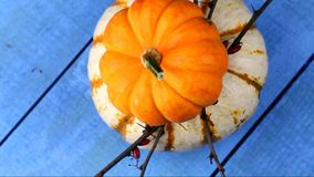 Yellow and white Pumpkins stock video footage