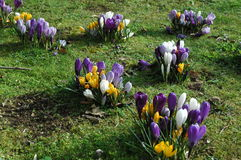 Yellow, white and purple crocus. Crocus in different colours Stock Photo