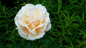 Yellow white rose flower stock video