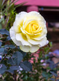 Yellow and White Rose. Royalty Free Stock Image