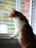 Yellow and white siberian cat looking through window. A fluffy siberian cat is waiting in front of window by looking though it Stock Photography