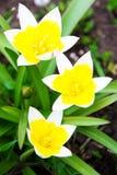 Yellow white small flower Stock Photos