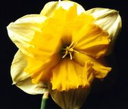 yellow and white split daffodil Stock Photos