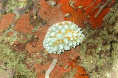 Yellow white spotted nudibranch Stock Photos
