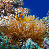 Yellow white-striped clown fish hiding between anemone's tentacl. Underwater photo coral garden with anemone and a pair of yellow clownfish royalty free stock photos
