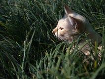 Yellow White Striped Head Notch Hiding. Stray Cat Yellow White Striped Head Notch Hiding in The Grass Stock Photo