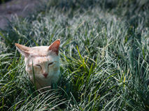 Yellow White Striped Head Notch Hiding. Stray Cat Yellow White Striped Head Notch Hiding in The Grass Royalty Free Stock Photos
