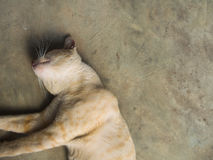 Yellow White Striped Head Notch Relaxing. Stray Cat Yellow White Striped Head Notch Relaxing Stock Photos