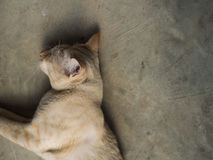 Yellow White Striped Head Notch Sleeping. Stray Cat Yellow White Striped Head Notch Sleeping Stock Images