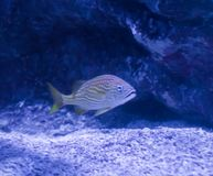 Yellow white striped tropical small mouth or blue striped grunt fish swimming in a underwater aquatic ocean landscape stock photos