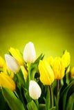 Yellow and white  tulip Stock Photos