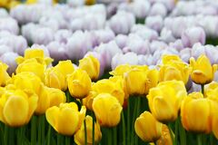 Yellow and White Tulips Stock Photo