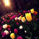 Yellow and White Tulips Field Royalty Free Stock Photos