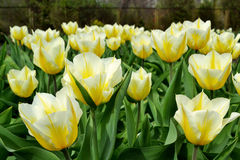 Yellow-white tulips. Foreground yellow and white tulips Stock Photography
