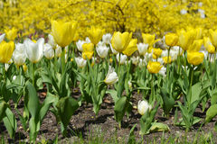 Yellow and white  tulips Royalty Free Stock Photography