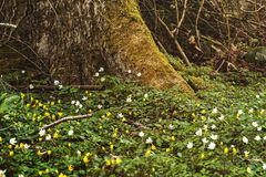 Yellow and white wild anemones carpet on the foot of a tree Stock Image