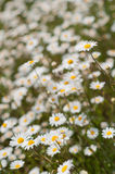 Yellow & white wild daisy flowers in meadow or garden with shallow depth of field Royalty Free Stock Images