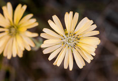 Yellow wild blooming daisy flower d Royalty Free Stock Photo