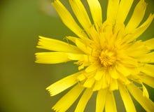 Free Yellow Wild Flower Stock Photo - 32457650
