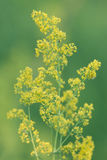 Yellow wild flower. Yellow lady's bedstraw (galium verum) on green background stock photos