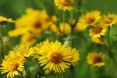 Yellow wild flower Stock Images